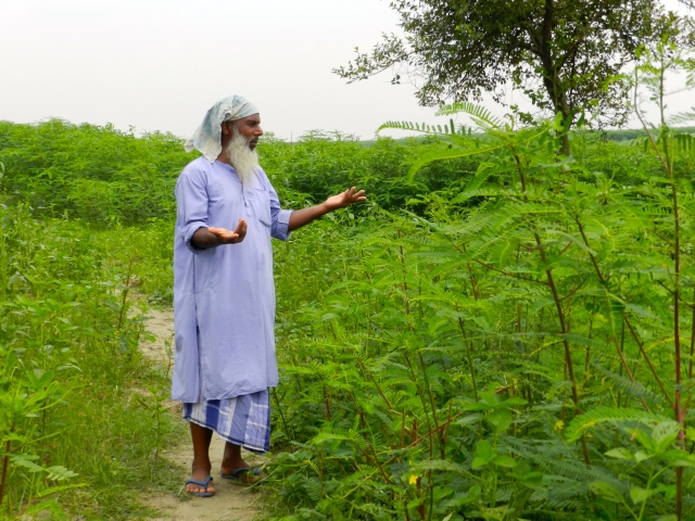 Saifuddin shows us his sesbania field