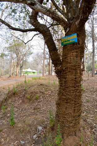 Conservation Indian style: The barbed wire is to protect this sandal wood tree from poachers.